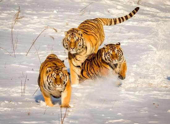 Алмазная мозаика 40x50 Амурские тигры бегут по снегу